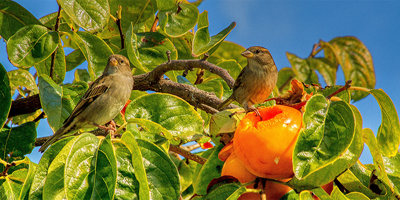 Gisborne. Sparrows dining out on Persimmon